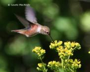 Rufous hummingbird with rue plant