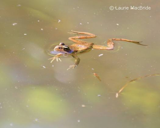 Red-legged frog floating in a pond
