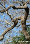 Garry oak tree limbs