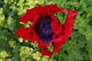 Oriental poppy flower over marjoram patch