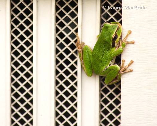 Pacific Tree Frog on a White Wall