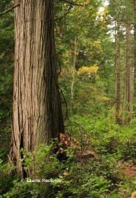 Red cedar tree in forest, Gabriola Island