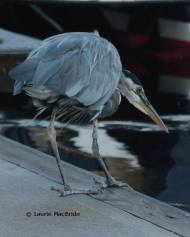 Elegant vulnerability: the Great Blue heron