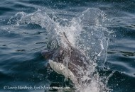 Dall's Porpoise: Making a Splash