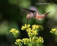 Frequent Flyer Extraordinaire: RufousHummingbird