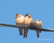 Ready for Liftoff: Barn Swallows