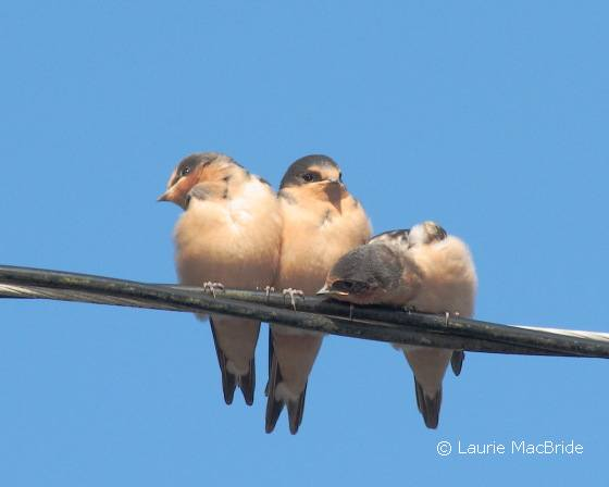 Barn swallows photo