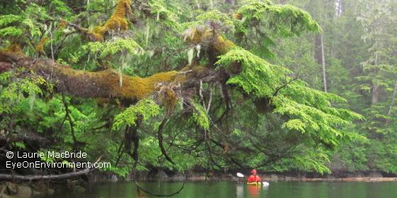 West coast rainforest shoreline with kayaker