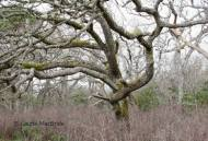 A Forest of a Different Kind: Garry Oak
