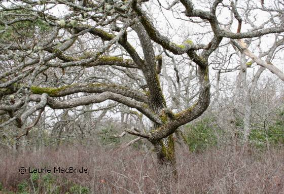 Garry oak trees
