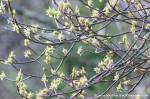 Indian plum blossums and branches