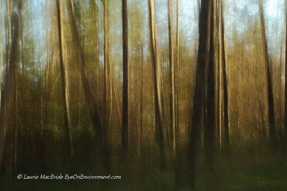 Douglas fir grove abstract