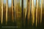 Abstract photo of Douglas firs, Gabriola Island