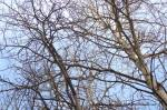 Trembling aspens in winter