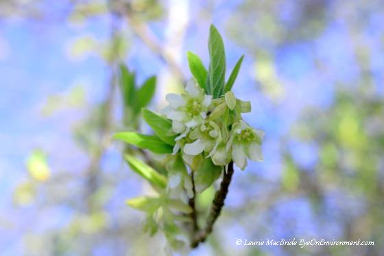 Indian plum blossoms