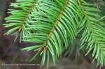 Douglas fir branches