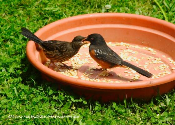 Spotted towhee feeding chick
