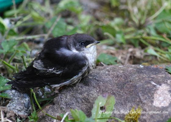 Swallow fledgling on the ground