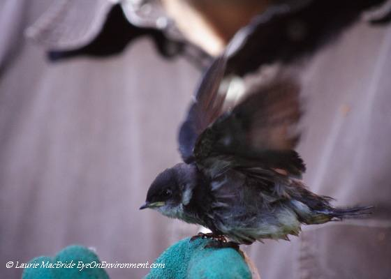 Swallow fledgling on gloved hand, flapping his wings