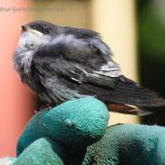 Swallow fledgling on a gloved hand
