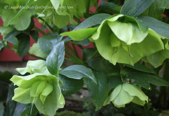 Hellebore (Christmas rose) flowers