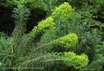 Euphorbia with flowerheads