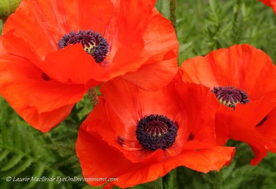 Oriental poppies (Papaver orientale)