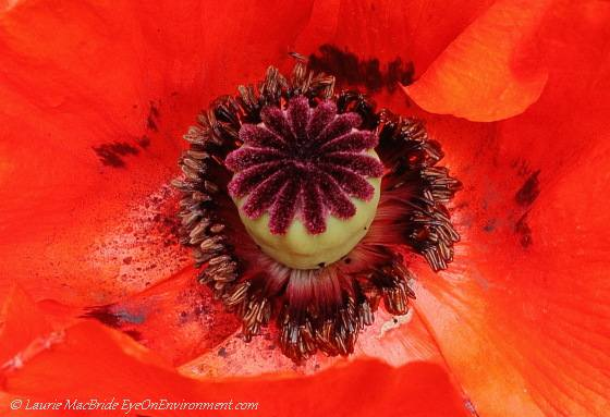Detail of poppy flower