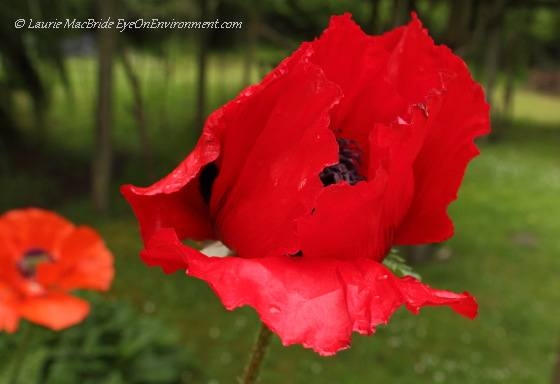 Red Oriental poppy with orange one in background