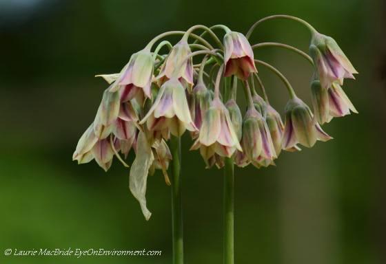 Nectaroscordum siculum in bloom