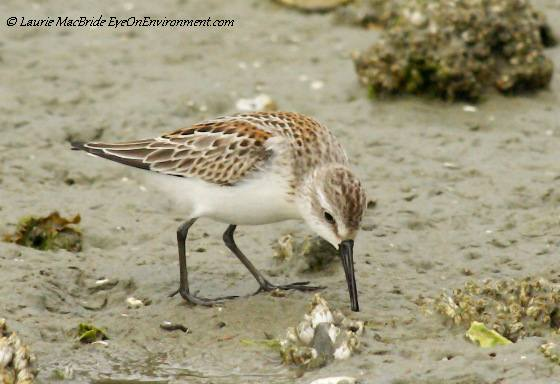 Sandpiper feeding on the beach