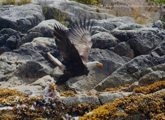 Bald eagle with its prey (a gull)
