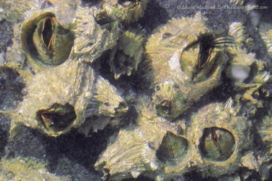 Barnacles feeding
