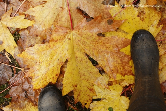 Bigleaf maple leaves measured against my feet