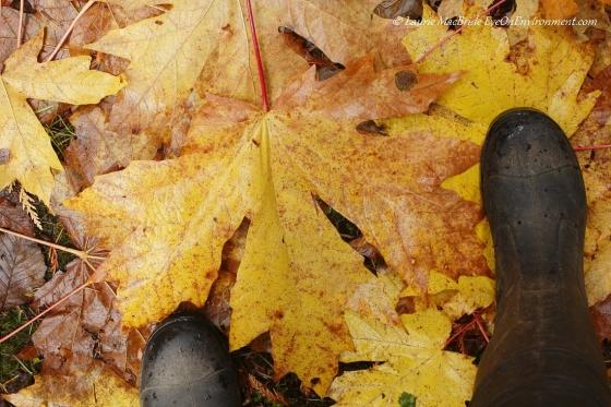 Bigleaf maple leaves measured against my feet