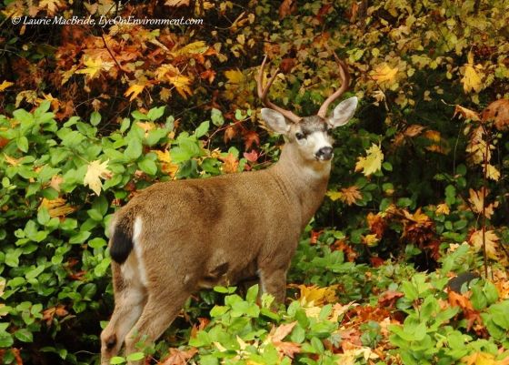 Black-tailed buck deer in fall leaves