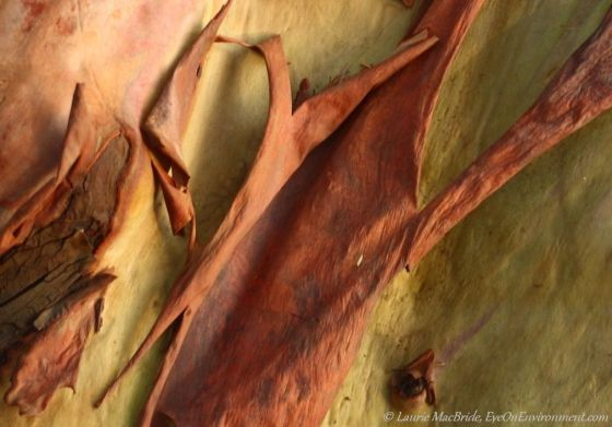 Closeup of peeling arbutus trunk