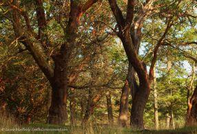 Arbutus trees on Gabriola Island