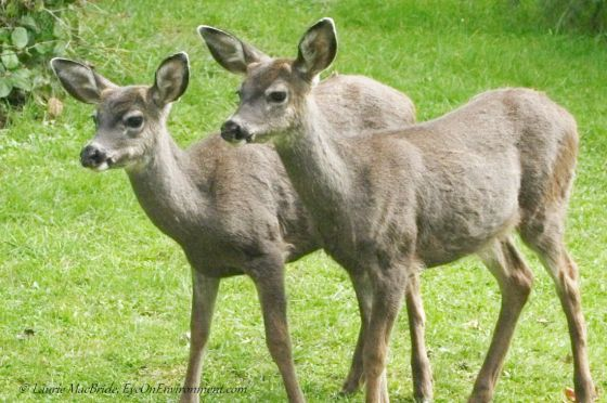 Twin Black-tailed deer fawns with antler buds