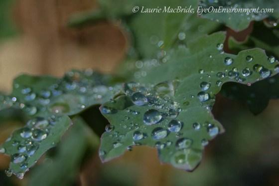 Closeup of kale leaf with raindrops