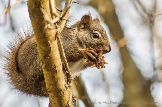 Red squirrel in tree with cone