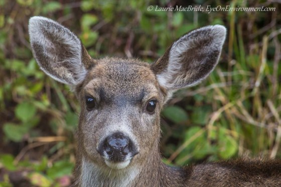 Young black-tailed deer buck