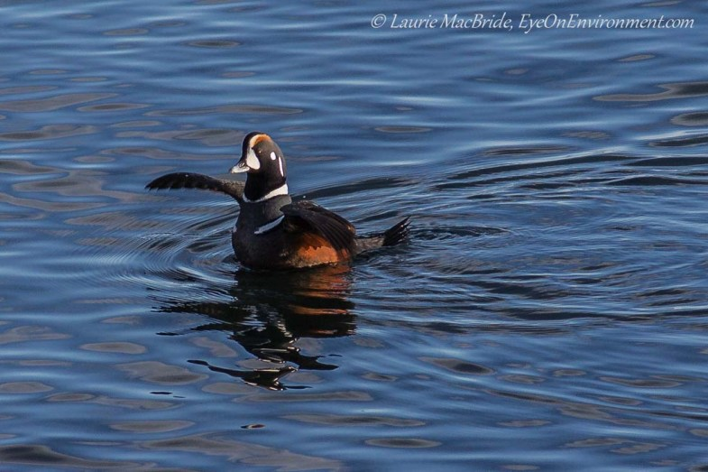 Harlequin with winds outstretched