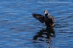 Harlequin duck with wings up