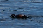 Harlequin duck feeding