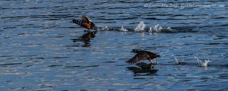 Male and female Harlequin ducks taking flight