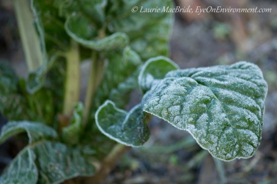 Swiss chard plant with frost