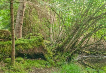 Moss covered nurse log in forest