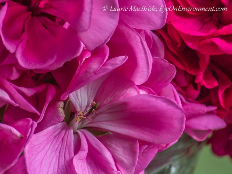 Close up of pink geranium blossoms in a vase