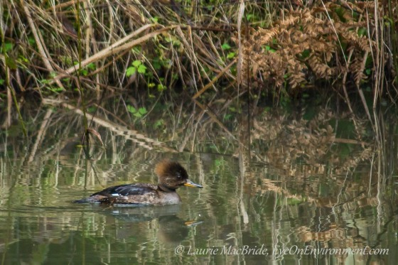 Hooded merganser in a pond